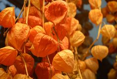 Orange physalis group. A bunch of physalis hanging to be dried for consumption Stock Images
