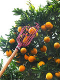 Orange picker. Picking oranges with the picker. The picker is a tool that helps getting to fruits high up without damaging the tree Royalty Free Stock Image