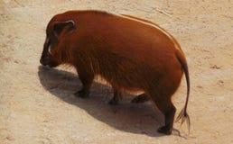 Orange pig royaltyfri fotografi