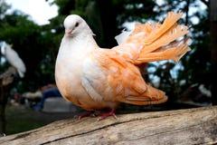 Orange pigeon color dove. Orange pigeon sitting on the branch Royalty Free Stock Photos