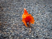 Orange pigeon on the stones Royalty Free Stock Images