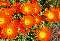 Orange pigface Stock Image