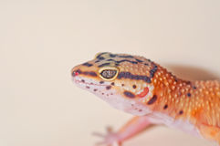 Orange pigmented Leopard Gecko Stock Photography