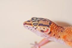 Orange-pigmentierter Leopard-Gecko Stockfotografie