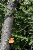 Orange Pilz auf gefallenem Glied lizenzfreies stockbild