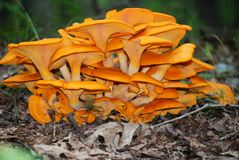 Orange Pilz-Kolonie lizenzfreie stockfotos