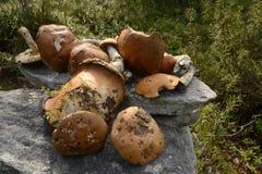 Orange Pilze in Karelien stockfotografie