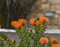 Malachite sun bird, on orange pincushion. Orange Pinchusion protea in bloom, Leucospermum , with Malachite bird. South Africa royalty free stock photos