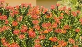 Orange Pinchusion protea i blom Royaltyfri Fotografi