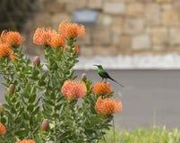 Orange Pinchusions-Protea in der Blüte Lizenzfreies Stockfoto