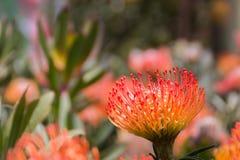 Orange Pincushion. Flower royalty free stock images