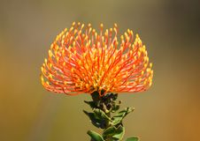 Orange Pincushion fynbos flower Stock Photos
