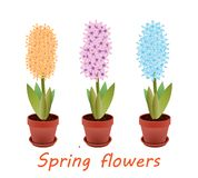 Orange,pink and blue hyacinths in flowerpots Royalty Free Stock Photography