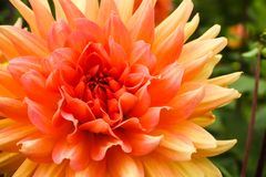 Orange pink dahlia ball fresh flower details macro photography with green out of focus background.  stock photos