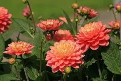 Orange and pink Dahlia's in a park Stock Photos