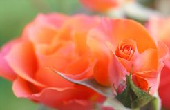 Orange and Pink Flower Royalty Free Stock Image