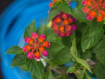 The Orange Pink Hedge Flowers Blooming Stock Image