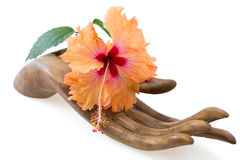 Orange and pink hibiscus flower on  wooden hand Stock Photography