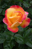 Orange and pink rose bud in garden. Closeup of rose bud in garden, portrait orientation Royalty Free Stock Photo
