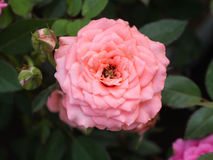 Orange Pink Rose Flower Blooming. In The Garden Stock Photo