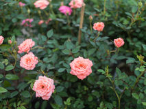 Orange Pink Rose Flower Blooming. In The Garden Stock Image