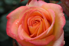 Orange and Pink Rose in Garden. Natural pretty red and pink rose flower in Garden with green leaf. This beautiful famous flower is easy to grow. It is the most Stock Photos