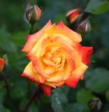 Orange and pink rose head and buttons in blurry natural background close up. Bright blooming rose head fully open in garden royalty free stock image