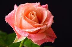 Orange rose macro with water drops. Orange, pink rose macro with dew water drops royalty free stock image