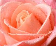 Orange rose macro with water drops. Orange, pink rose macro with dew water drops stock images