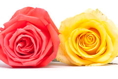 Orange and pink roses close up. On white background Stock Photography