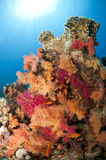 Orange and pink soft coral Royalty Free Stock Photography