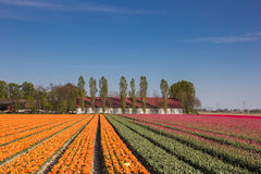 Orange and pink tulip field and a farm Royalty Free Stock Image