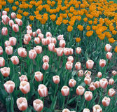Orange and pink tulips Stock Photos