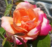 Orange, Pink, and Yellow Rose Stock Images