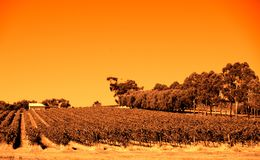 Orange Pirramimma. Photograph taken at Pirramimma Winery featuring the vineyard with eucalypt trees (McLaren Vale, South Australia royalty free stock images