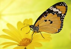 Orange plain tiger butterfly, Danaus chrysippus, on a marigold flower on yellow and green blured background. Plain tiger butterfly, Danaus chrysippus, sits on a royalty free stock images