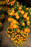 Orange plant. Potted Tangerine/orange plants for sale Royalty Free Stock Photos