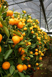 Orange plant. Potted Tangerine/orange plants for sale royalty free stock photography
