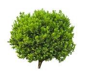 Orange Plant. Lush green orange plant isolated on white background Royalty Free Stock Image