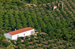 Orange Plantation Stock Photography