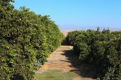 Orange plantation Stock Photography