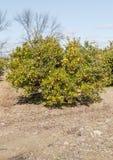 Orange plantation Stock Photos
