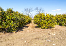 Orange plantation Stock Image