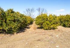 Orange plantation Stock Image