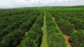 Orange plantation aerial view in Brazil