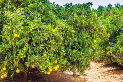 Orange plantation in Narrandera Australia. New South Wales Royalty Free Stock Photo
