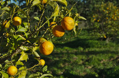 Orange plantation with oranges ready to collect. Agriculture farm Stock Photos
