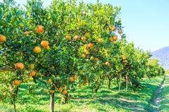 Orange plantation Stock Images