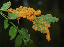 An orange plasmodium of a slime mold on a grass stock image