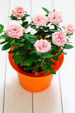 Orange plastic pot with pink mini Rosa Royalty Free Stock Image
